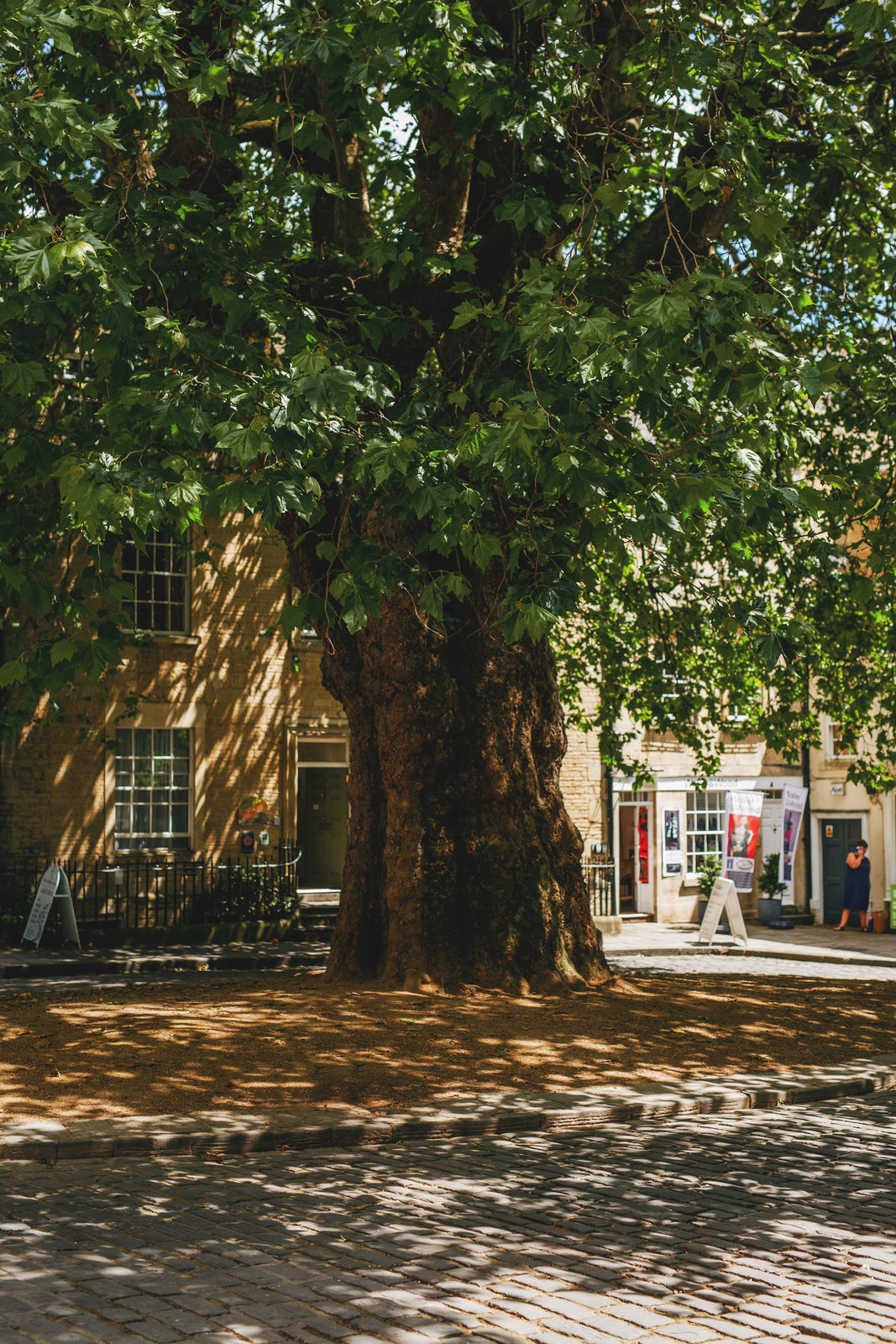 столетнее дерево
