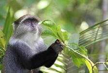 ďalší z opičích obyvateľov pralesa Jozani
