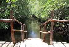mangrovník v Jozani