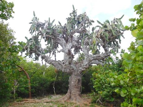 gigantický kaktus
