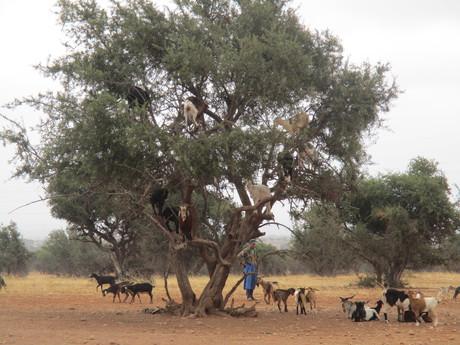 kozy na arganovníku