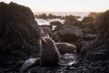fauna na Zélande