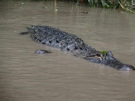 дикий крокодил