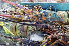 деликатес - омар, только что вытащенный из моря