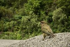 papoušek Kea