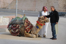 camel by the road