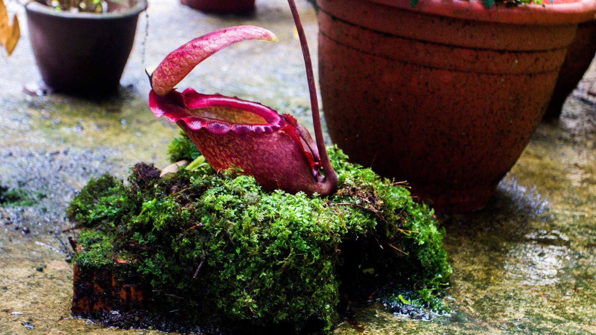 редкое плотоядное растение (Nepenthes rajah)