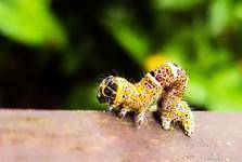 национальный парк Кинабалу - приближенная гусеница