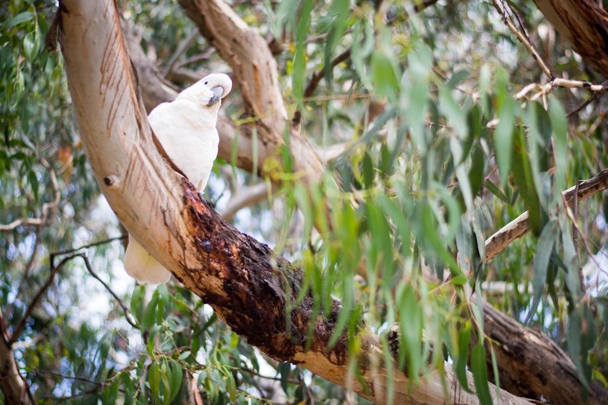 kakadu pri Koala café