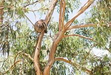 koala pri Koala café