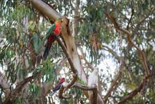 papagáje pri Koala café
