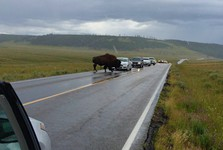 bison slowly crossing the road