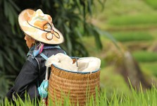 Hmong, Zao, rice field