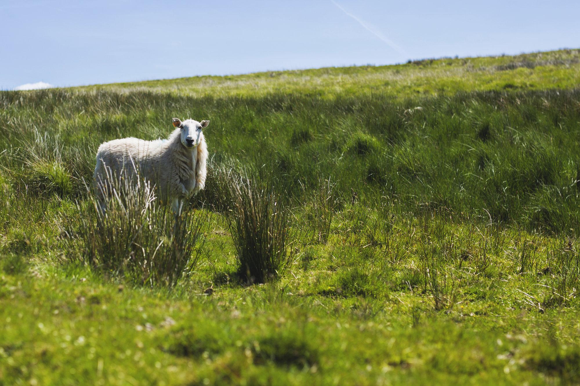 všudypřítomné ovce