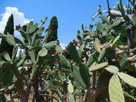 kaktusová zárada