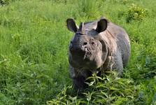носорог однорогий - это вид, находящийся под угрозой исчезновения
