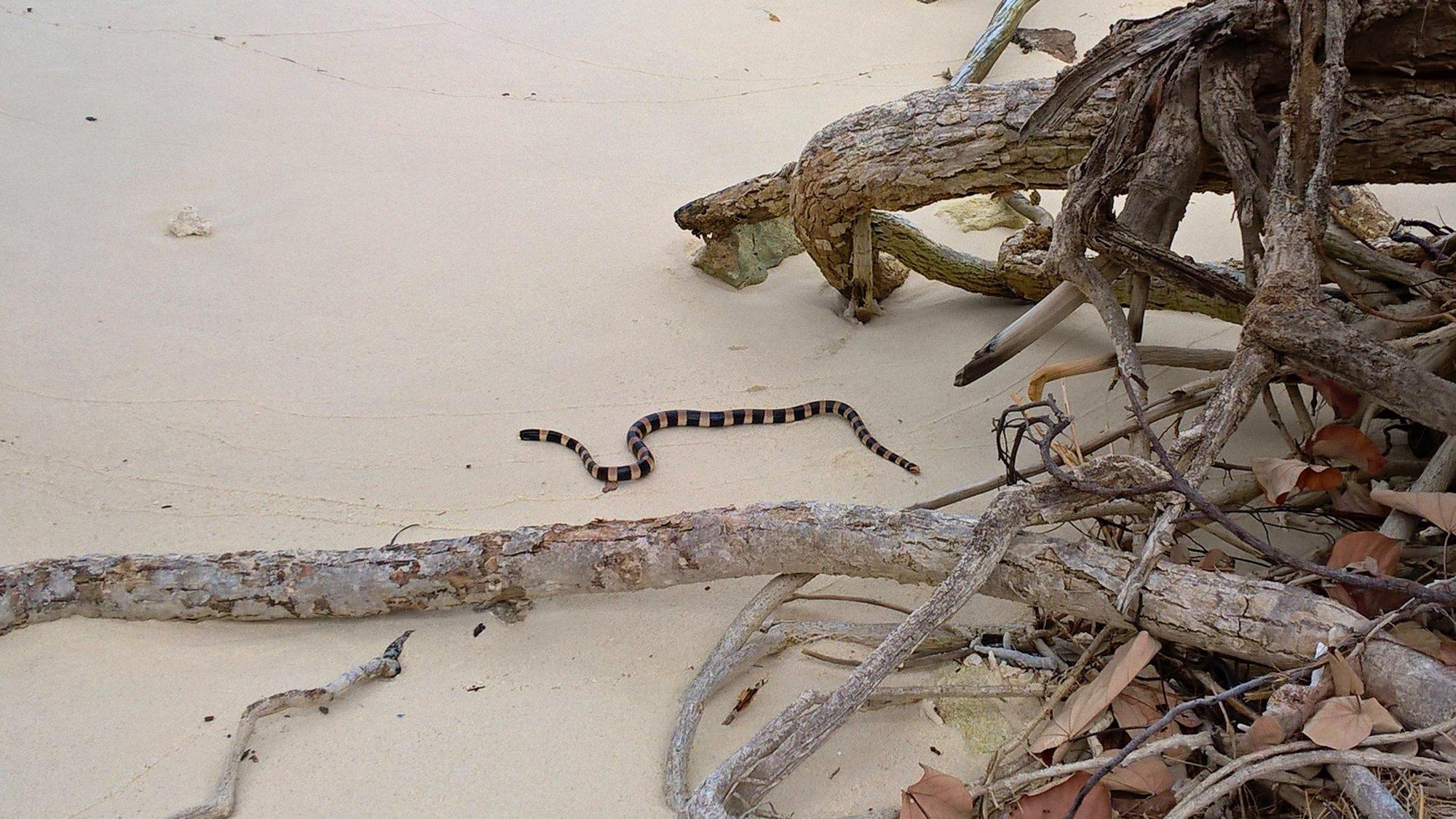 Smrtelně jedovatého hada korálovce se nemusíte moc bát