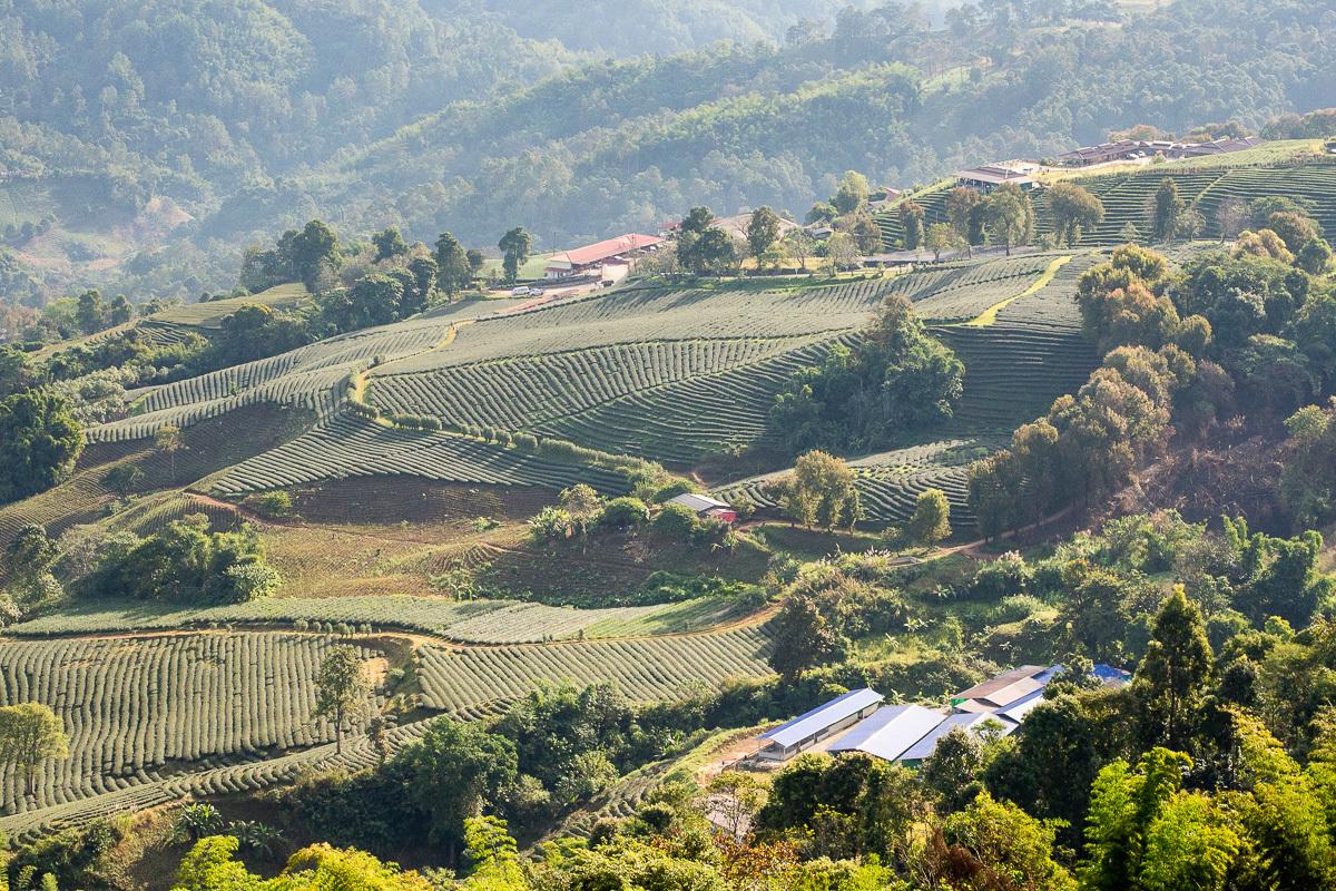 jedna z největších čajových plantáží