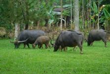 водяные буйволы