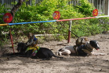 подготовка к собачьим бегам с обезьянами