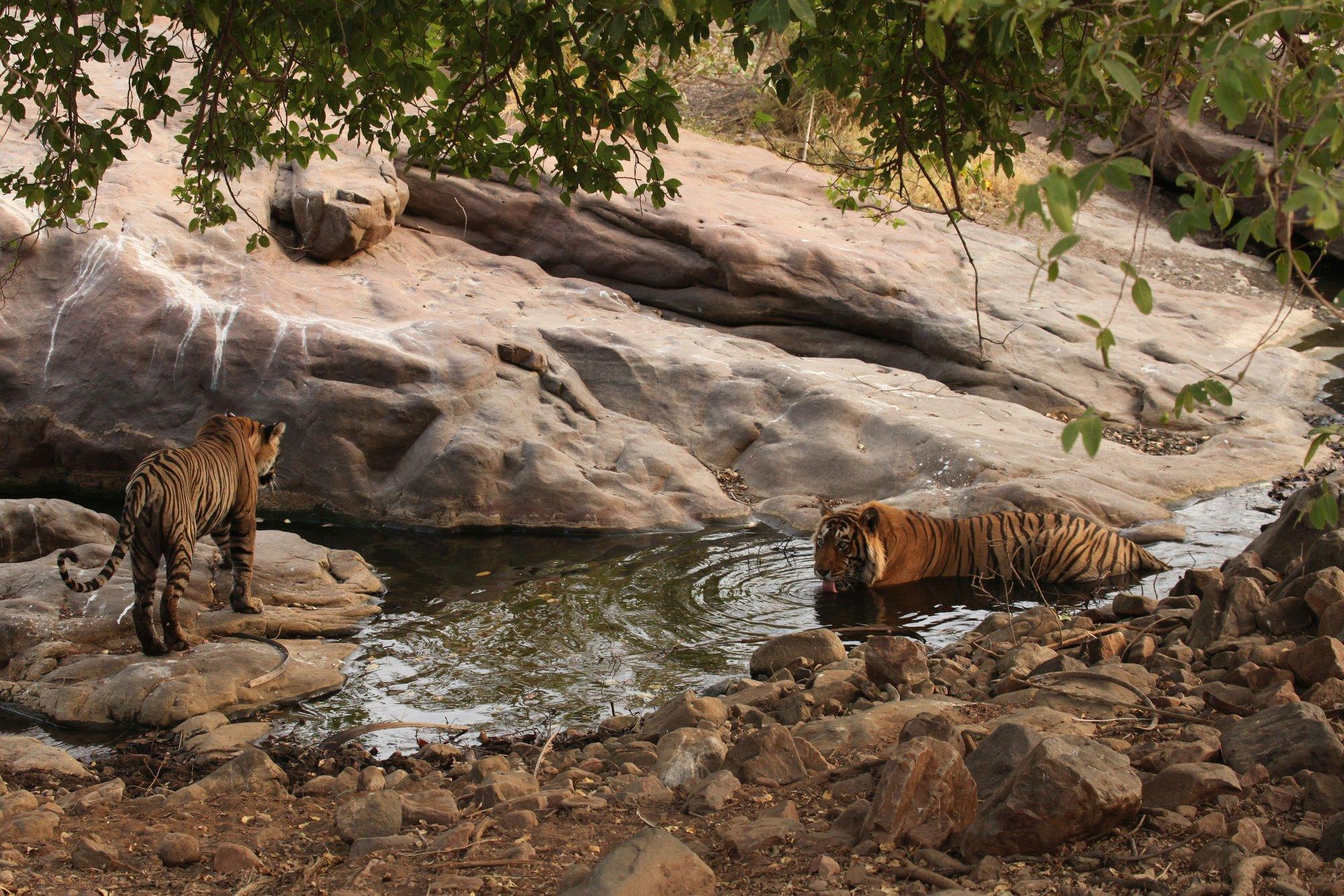 tygři jsou jen kousek od nás