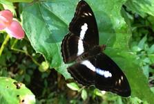v Yangmingshane žije niekoľko druhov motýľov