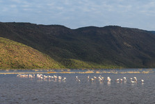 flamengoes on Lake Bogoria