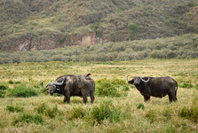 buffaloes in Hell's Gate national park