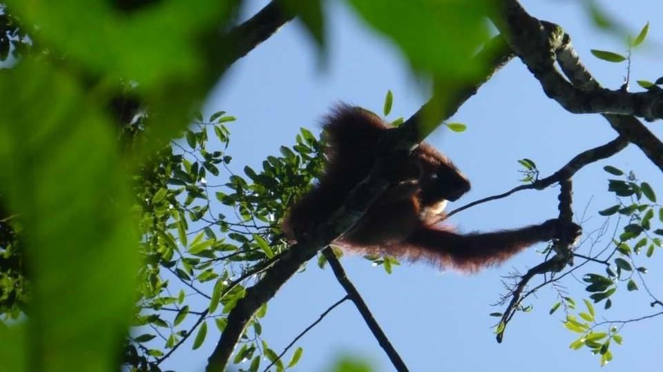 orangutana většinou zahlédnete jen na okamžik