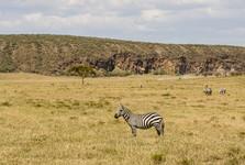 zebry uvidíte i v průběhu dne