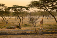 zvědavá žirafa kousek od cesty