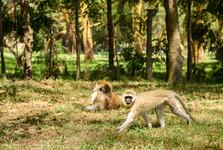 opice v jednom z kempů