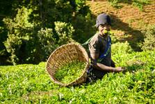 na čajové plantáži