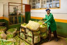 фабрика по переработке чая