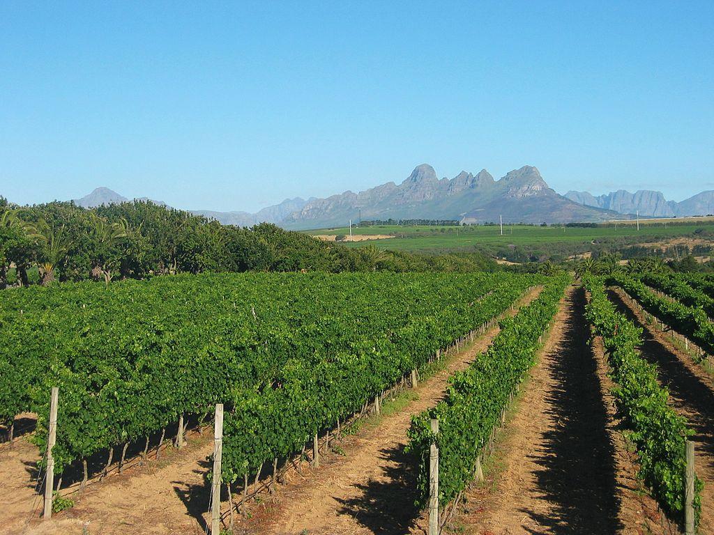 vinice, Stellenbosch
