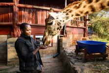 в Giraffe Centr вы можете кормить жираф с руки