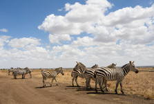it is almost certain that you will se zebras. they have almost no fear of cars