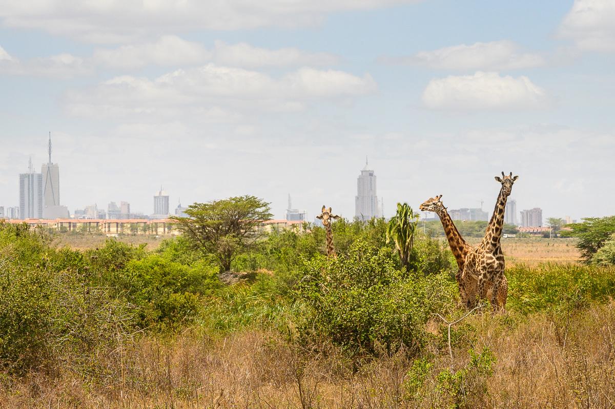 žirafy nedaleko vjezdu do národního parku