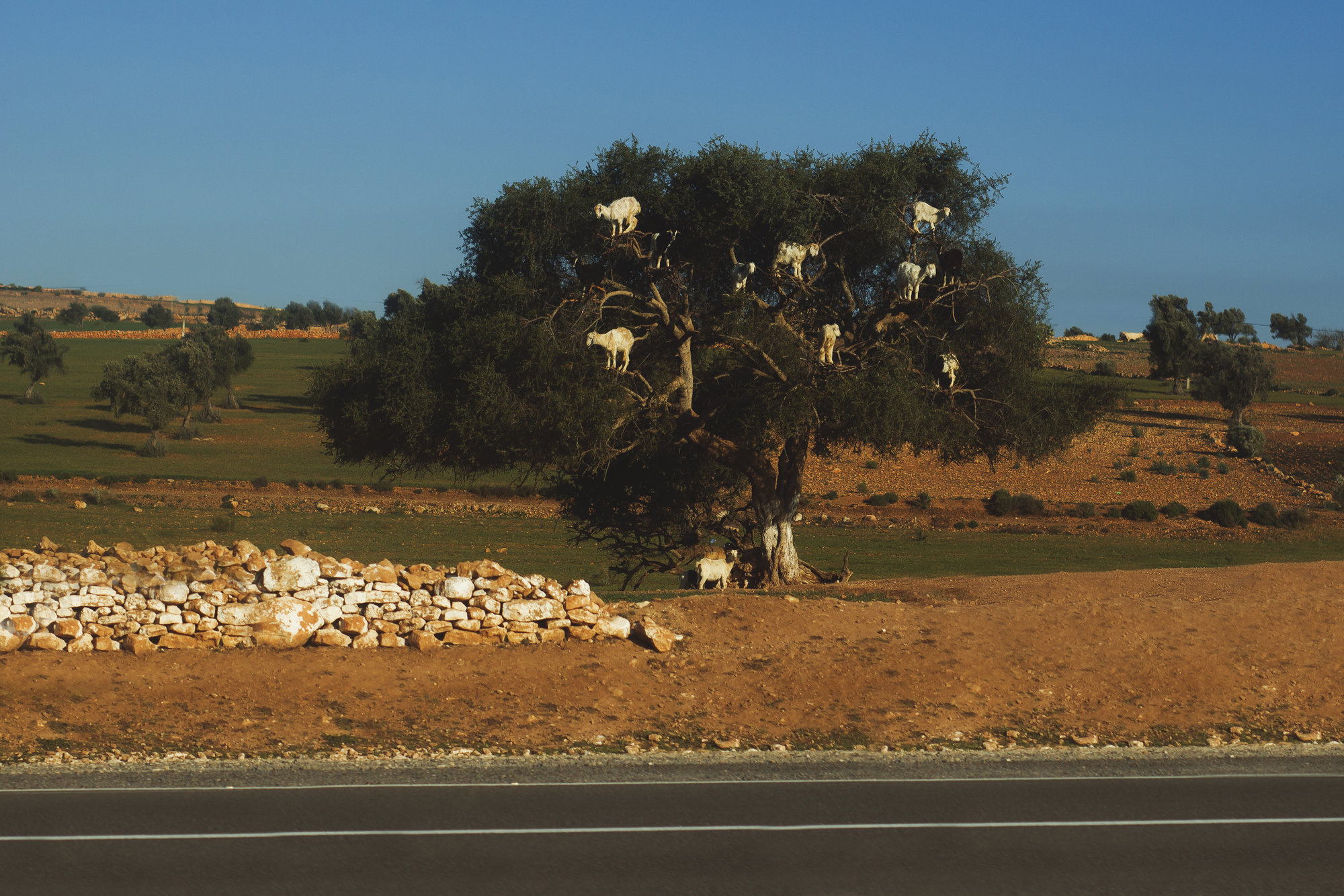 goats on trees are local attraction