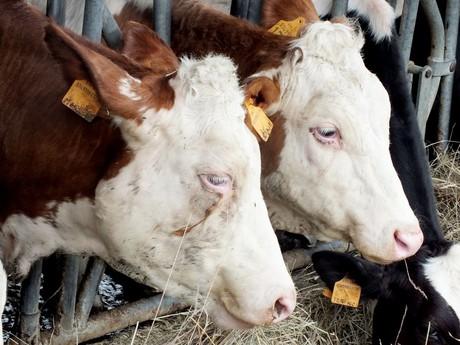 krávy na statku (Lesignano de' Bagni)