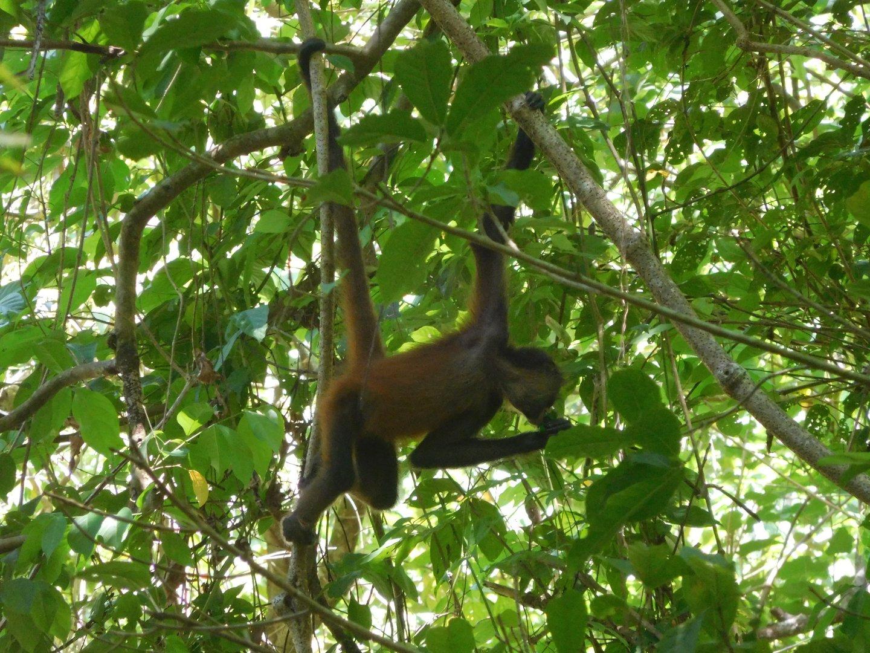 opice, Matapalo