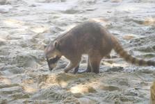mýval na pláži