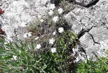 Čerenová skála (Jánošíkův stůl) - flóra