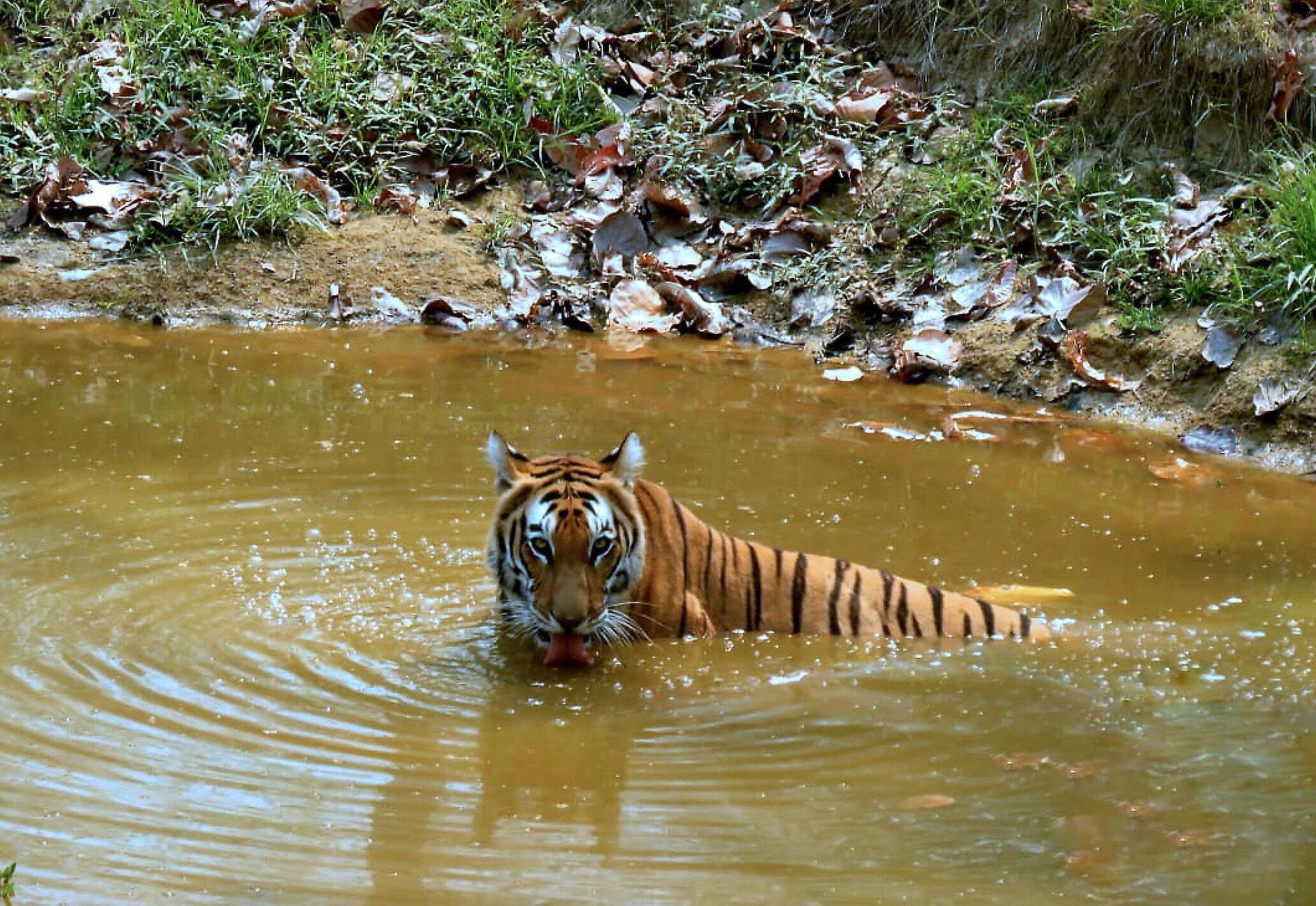 tiger džungľový indický