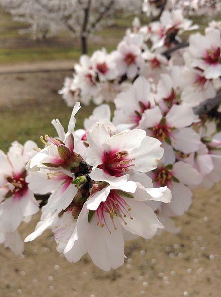 rozkvetlý strom na Fresno Blossom Trail