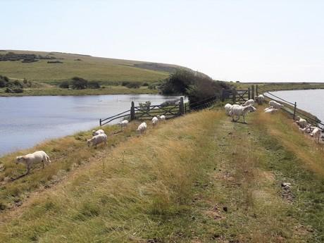 Country Park Seven Sisters (stáda dobytka)
