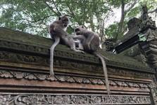 opice jsou na Bali posvátné