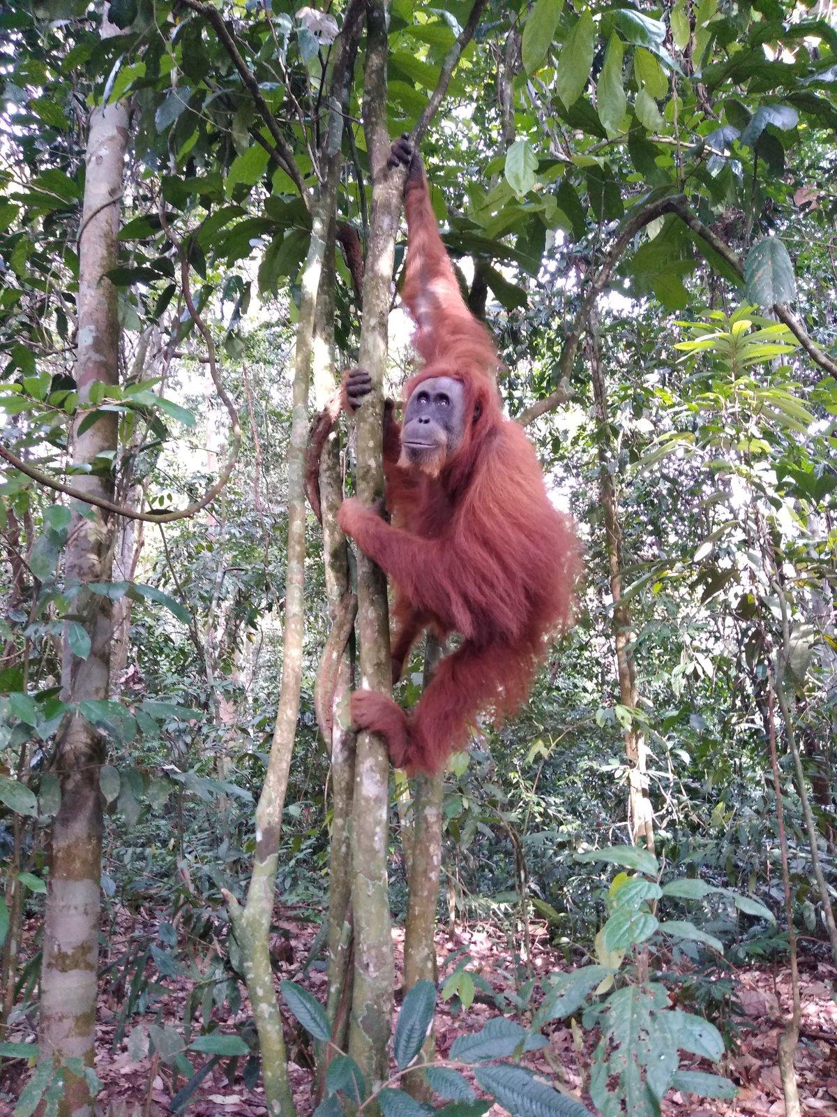 stretnutie s orangutanom