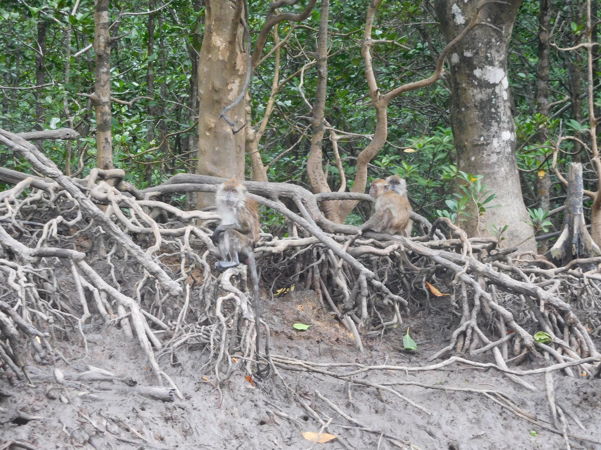 makakové na porostech mangrove