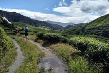 procházka čajovými plantážemi